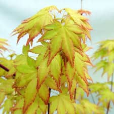 Erable du Japon, Acer Palmatum Orange Dream 30 cm - Pas cher