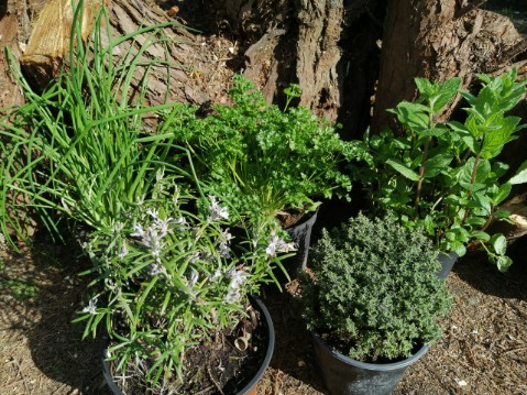 herbes arômatiques
